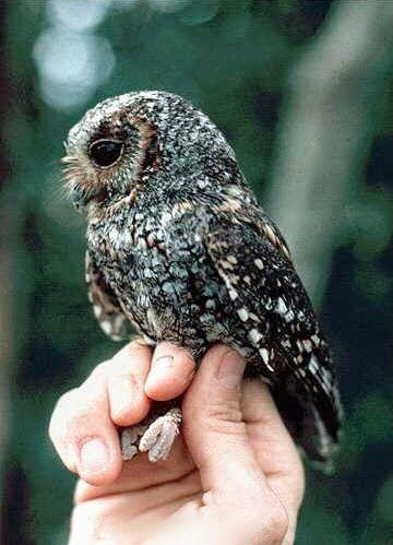 Collared owlet Pinned by www.myowlbarn.com