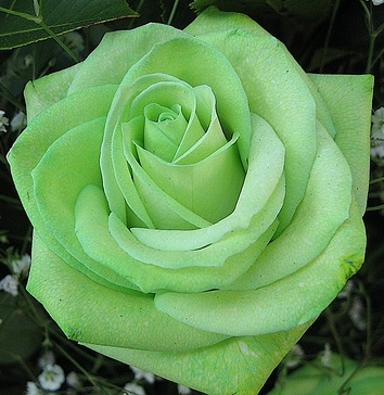 Mint Green Rose ( color for flower tattoo )