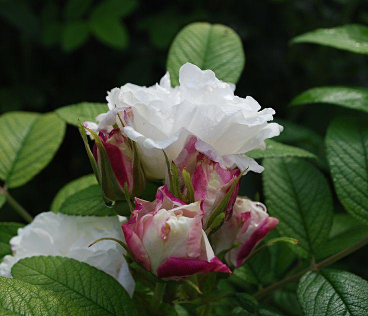 När man pratar om Rosa rugosa så tänker man kanske först och främst på taggiga, krafiga rosor för stora ytor, pålitliga och bra men inte direkt några skönheter. Sorten Louise Bugnet däremot är mycket…