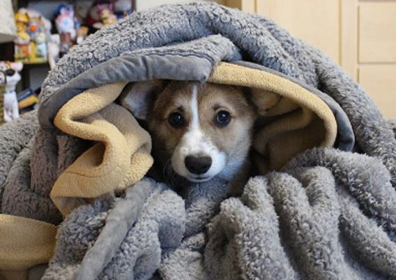 This corgi pup who is all tucked in.