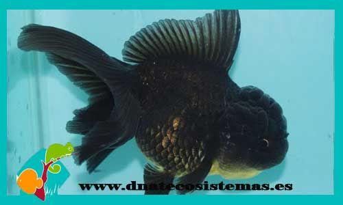 oranda-negro-oranda-panda-6-7cm-tienda-online-peces-venta-de-peces-compra-de-peces-online-peces-baratos