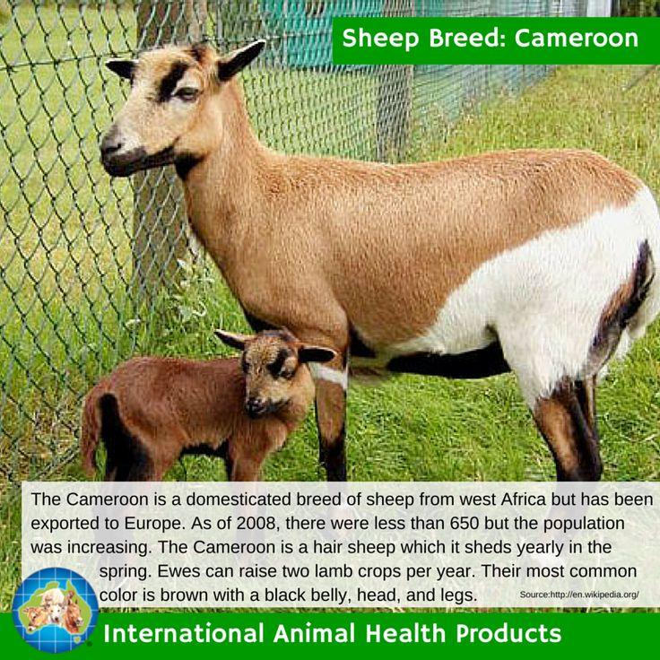 #cameroonsheep #cameroon #sheep #ram #ewe #lamb #sheepbreed #breed #facts #green #iah #iahp #internationalanimalhealth #poultry #animal #facts #breeds #livamol #protexin