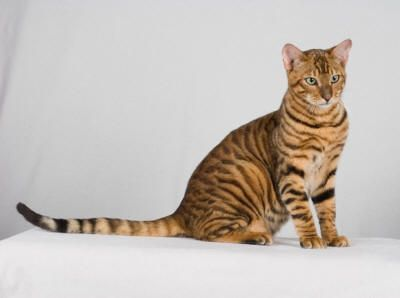 my next cats so gonna be these breed.... better start saving :)