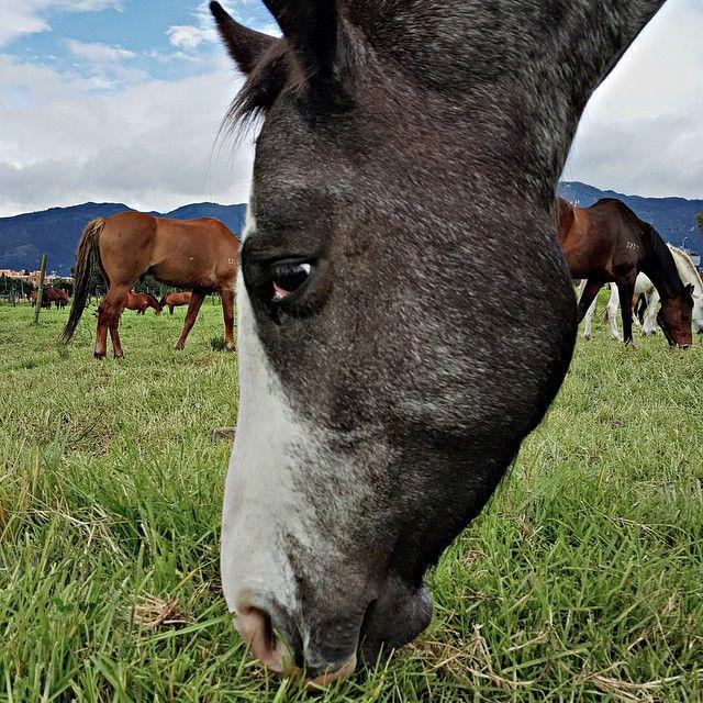 Una manada de caballos del grupo de Carabineros de la polícia pasta en Bogotá Colombia. #Caballos #Horse #Photojournalist #Verde  #Animales #Co #Colombia #HDR #StreetPhotography #Travel #Viajar  Foto: @mauriciofot (Mauricio Moreno) EL TIEMPO