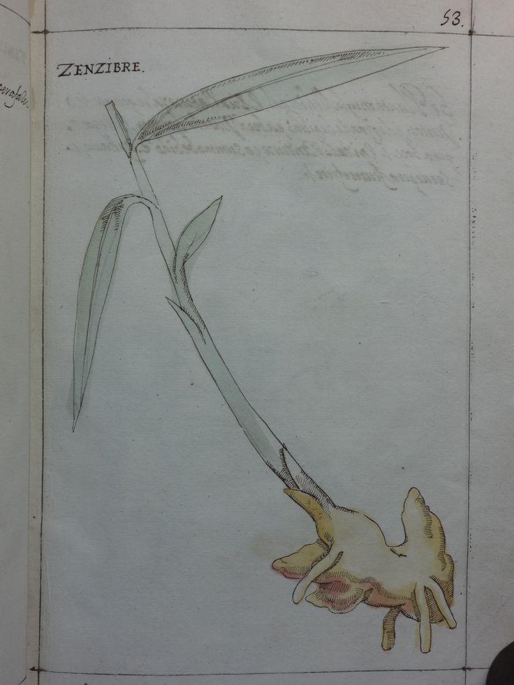 """DSC01311 - Manuel Godinho de Herédia (1563-1623)- """"Summa de arvores e plantas da India intra Gangez"""". 1612. Manuscrito, original autógrafo. Arquivos da Abadia de Tongerlo - Cota: AAT-V 133"""
