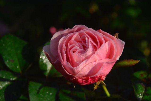 Mary Ann  ruusu