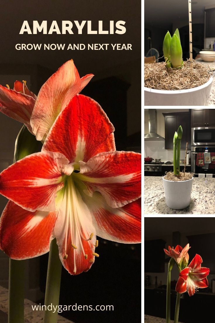 Amaryllis From Tiny Bulb To Spectacular Flowers In 2020 Amaryllis Flower Pot Design Indoor Flowers