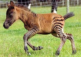 Zony=pony + zebra. I saw one of these at the Renaissance Festival this year in Larkspur, CO. Very interesting.