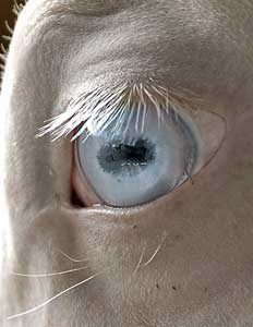 Perlino - Habib Shael, a perlino Akhal-Teke stallion.  Perlinos and Cremellos always have blue eyes.