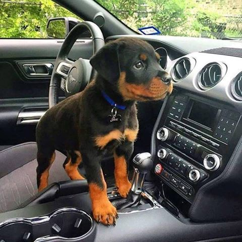 my cute rottweiler puppy dog  Always curious ;-)))