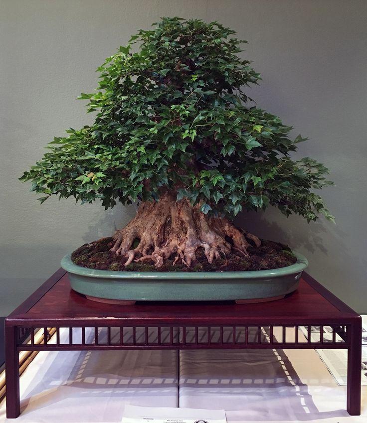 Mark Fields Trident Maple Bonsai