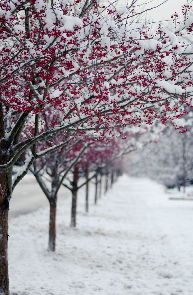 Winter wonderland | red berries in snow avenue