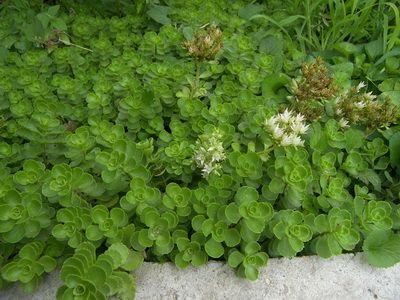 Очиток супротиволистный (S. oppositifolium).Почвопокровные многолетние растения, цветущие все лето: фото и названия цветов-многолетников для сада
