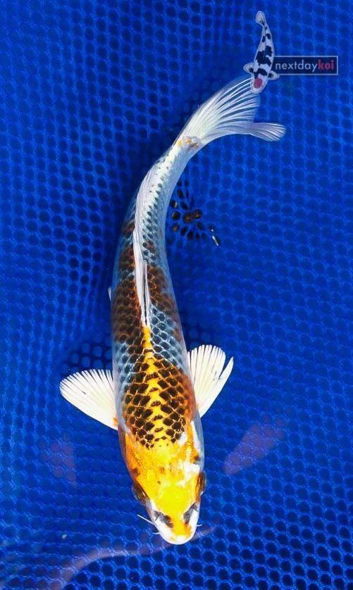 6 5 kujaku standard fin live koi fish pond garden single for Live koi fish