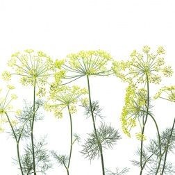 Simple dill crowns may inspire magic in the kitchen.
