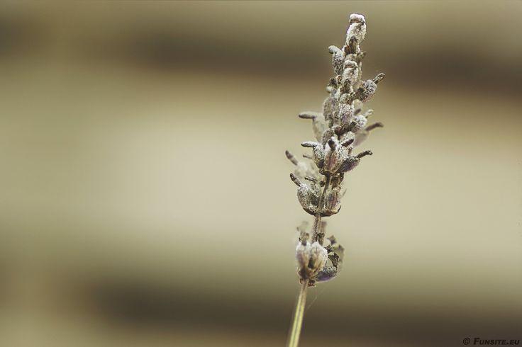 Lavender in the winter - http://www.funsite.eu/2016/12/lavender-in-the-winter/?utm_source=PN&utm_medium=Pinterest&utm_campaign=SNAP%2Bfrom%2BFunsite.eu