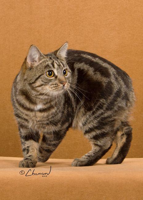 MANX Cat | Tynwald's Caitlin Brown Tabby SH Manx