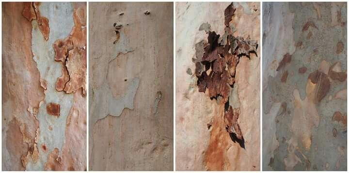 Week 18 -  Artistic, texture. Street gumtrees, series of four images.