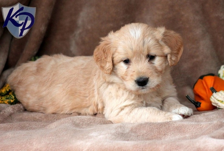 Precious Miniature Goldendoodle Puppies for Sale in PA
