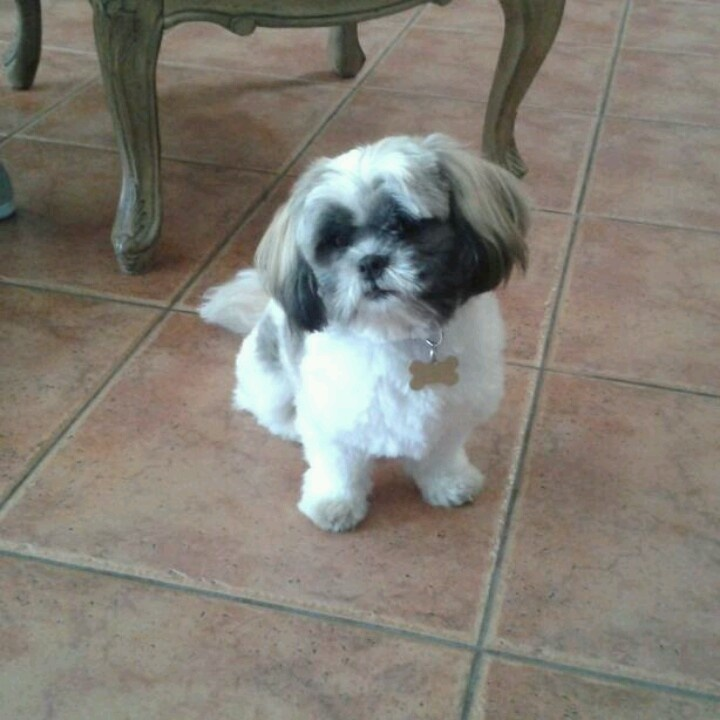 17 best images about lhasa apso pictures on pinterest best dogs 5