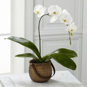 White Phalaenopsis Orchid delivery direct to your door. Flowers on 1st delivers fresh Phalaenopsis Orchids throughout Vancouver BC daily.