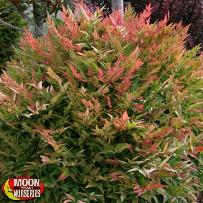 Gulf Stream Heavenly Bamboo Evergreen Shrubs Shrubs Plants