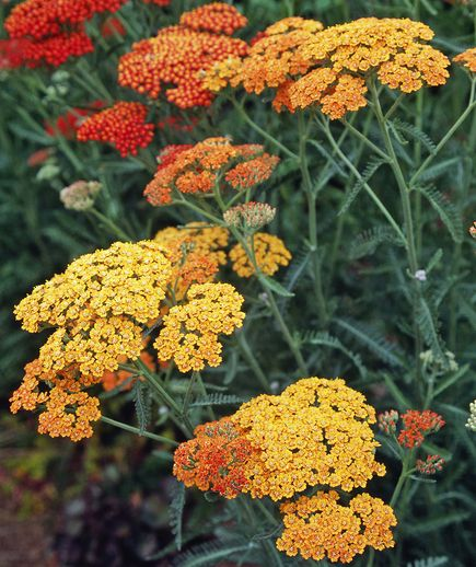 8 flowering plants that are drought tolerant - Yarrow (Achillea millefolium)