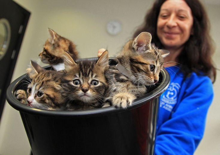 Mai mulţi pisoiaşi sunt ţinuţi într-o găleată, înainte de sosirea ducesei Camilla la adăpostul pentru animale Battersea Dogs and Cats Home, în Londra, miercuri, 27 octombrie 2010. (  Chris Jackson / AFP / POOL  ) - See more at: http://zoom.mediafax.ro/news/cats-in-the-news-12976632#sthash.kVUHaMTi.dpuf
