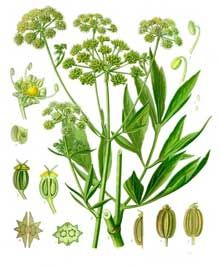 Therapeutic Uses, Benefits and Claims of Lovage