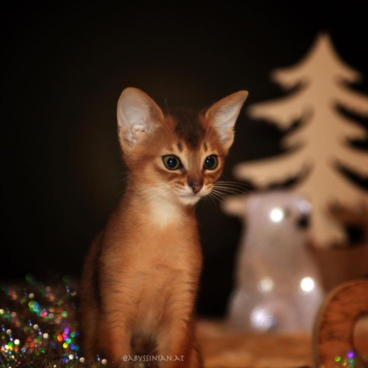 "34 Likes, 1 Comments - Abessinier Katzen Zucht (@abyssinian.at) on Instagram: ""Hey #Chrismas I think I see you already 🎄👀 . . . #AmberAmulett #Abyssinian #Abessinier #Cat #Katze…"""