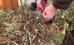 Clematis richtig schneiden -  Einige Clematis-Sorten wie zum Beispiel die Italienische Waldrebe (Clematis viticella) muss man regelmäßig schneiden, damit sie üppig und ausdauernd blühen. So wird's gemacht.