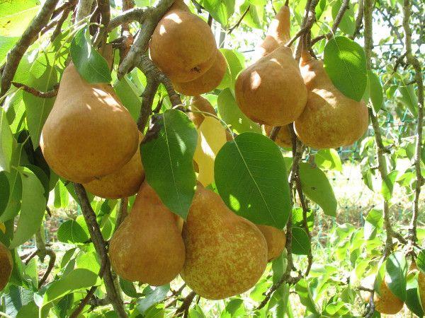 Découvrez un verger en permaculture existant, retour d'expériences, arbres fruitiers utilisés, les bonnes associations, comment procéder...