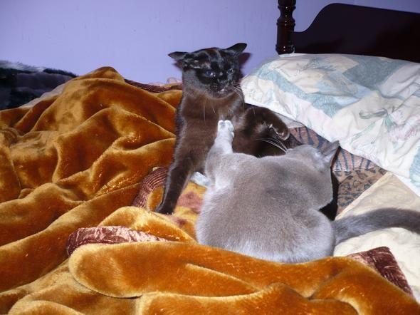 gatos brigando.
