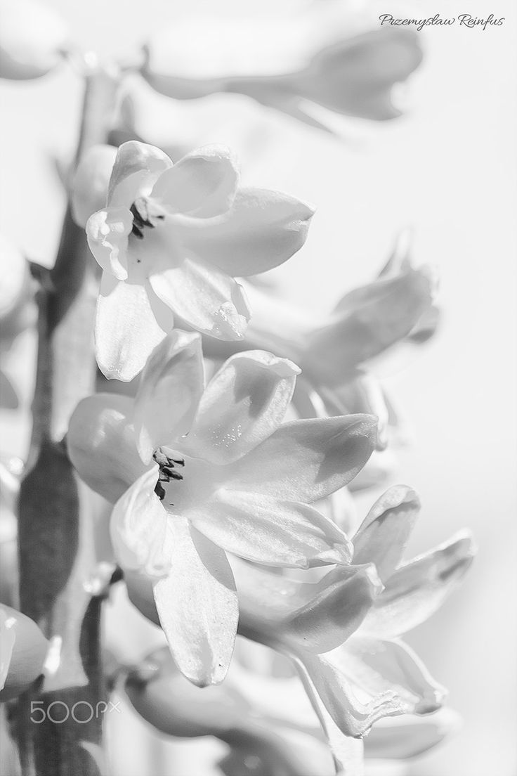 Hyacinth in Hi Key - null