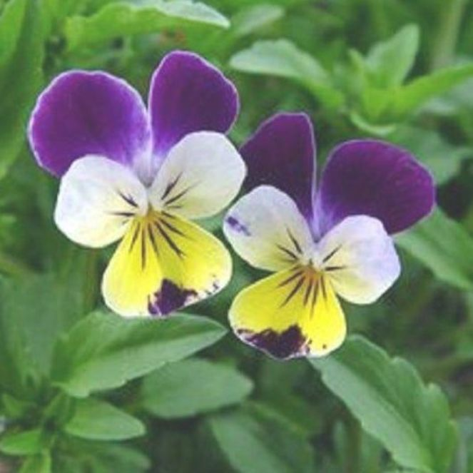 Johnny Jump Up Seeds Viola Seeds 500 Perennial Seeds Pansies Flowers Beautiful Flowers Pictures Johnny Jump Up