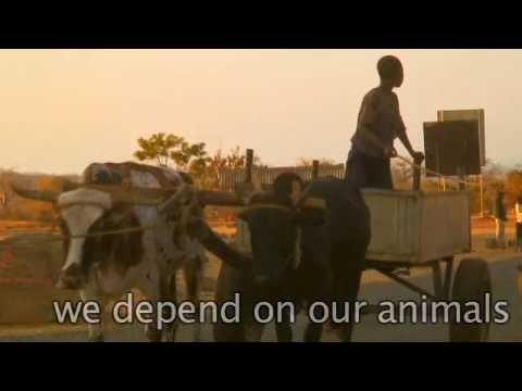 Mozambican Livestock Song (Length: 1:46) Recorded at a wedding, this song describes the importance of livestock to poor agricultural communities when times are bad. Translated loosely from the original.