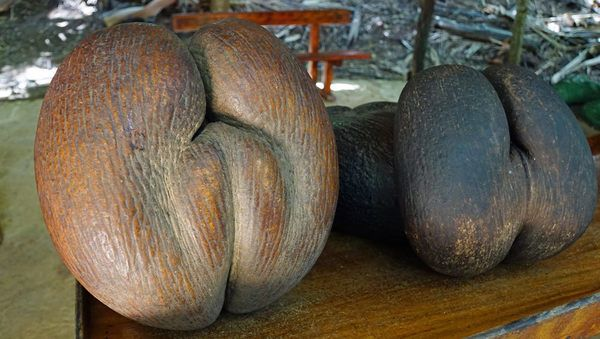 They're 35 pounds, resemble human buttocks, and are irresistible to poachers.