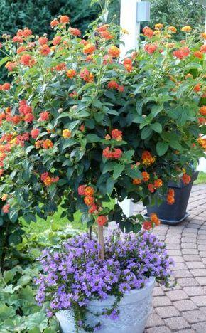 Wandelröschen (Lantana) gehören zu den frostempfindlichsten Kübelpflanzen und müssen deshalb schon früh ins Warme. So überwintern Sie die tropischen Blütensträucher erfolgreich.