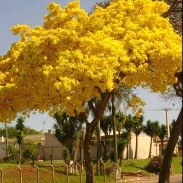Yellow Flamboyan tree of Puerto Rico