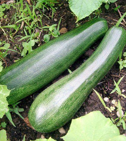 Aprende a Cultivar Calabacines!