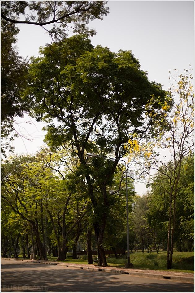 Trees at Lumpini Park Bangkok – Tour and Pictures of Lumphini Park – Bangkok, Thailand