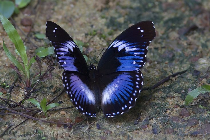 Blue Diadem (Hypolimnas salmacis)