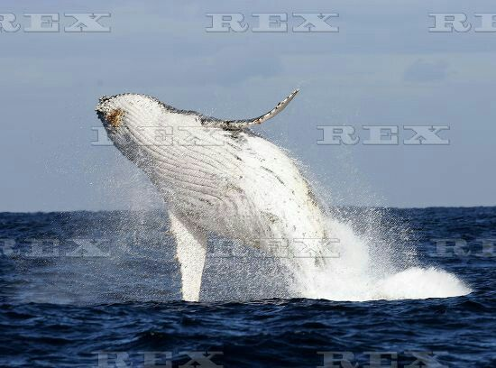 Humpback Whales off the coast of Port Stephens, New South Wales, Australia - 03 Jun 2015  A humpback whale breaches  3 Jun 2015