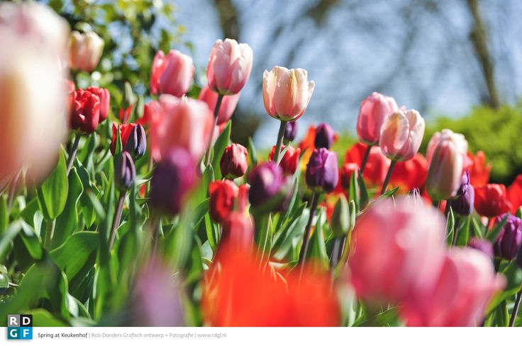 Picture: Rob Donders   Location: Keukenhof - The Netherlands   Flower bulbs & Spring