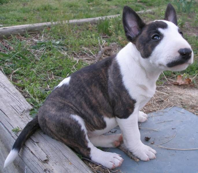 Mini Bull Terrier Pup...this will be the next dog we get. I want one sooooo bad!!