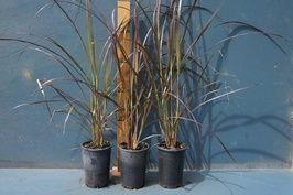 Buy Dwarf Purple Fountain Grass (Pennisetum setaceum 'Red Riding Hood'), Sydney | Melbourne | Brisbane | Adelaide - Eureka Nursery