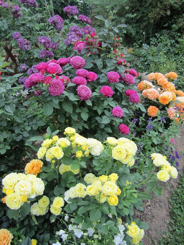 484 best images about rose garden on pinterest gardens. Black Bedroom Furniture Sets. Home Design Ideas