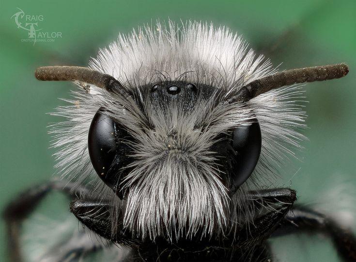 White furred miner bee / Andrena cineraria