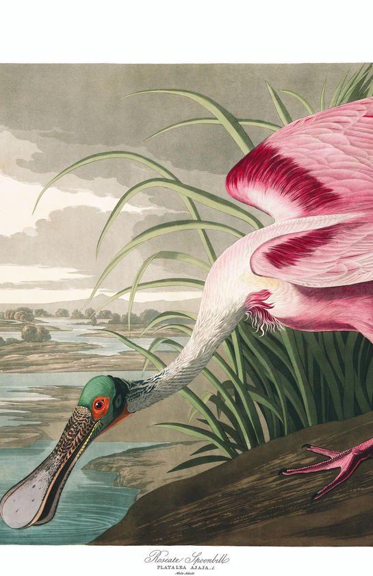 Roseate Spoonbill John James Audubon 39 S Birds Of America