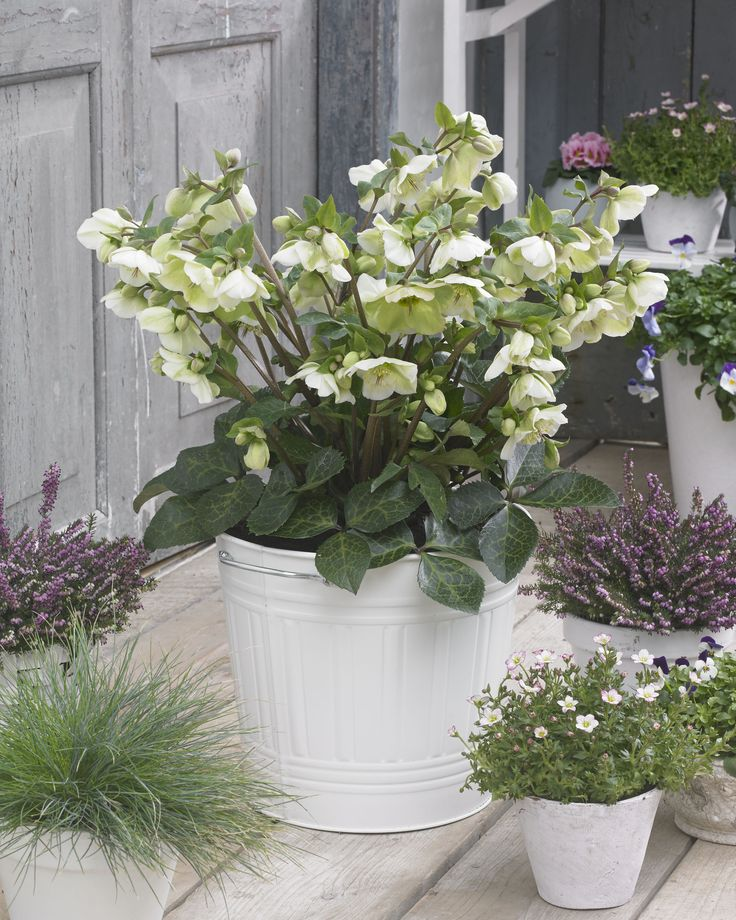 Hot Plant Hellebores: Helleborus 'Molly's White'